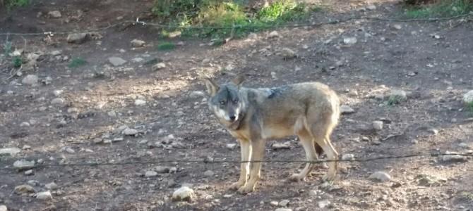 Proyecto lobo en Radio Cruz Blanca